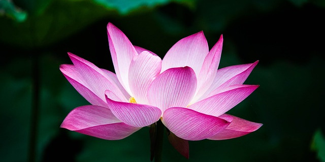 Entspannung: Biofeedback - geöffnete Lotusblüte