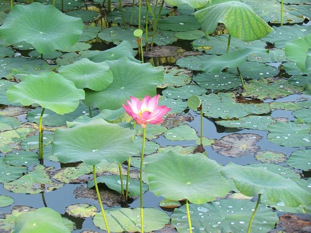 Mit Stress umgehen wie der Lotus mit Wasser